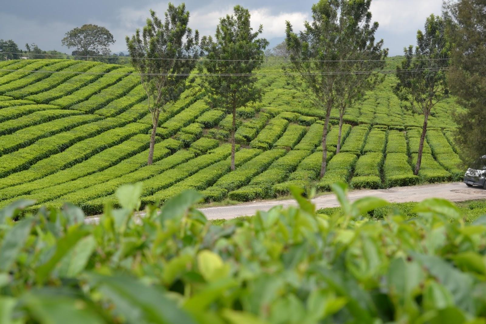 Tempat Wisata Kebun Teh Bahbutong, Sidamanik, Simalungunhana